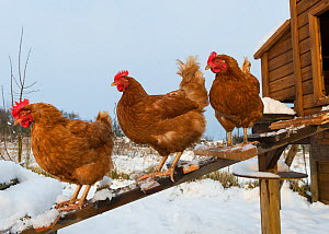 Domestic chickens outside snow covered coop on allotment, England, January - Gary K. Smith