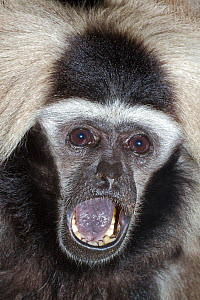Female Pileated Gibbon (Hylobates pileatus) with mouth open, captive from Cambodia and Thailand, Endangered species.  -  Rod Williams