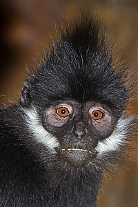 Francois' Langur (Trachypithecus francoisi) captive from Southern China and NE Vietnam. Endangered species. - Rod Williams