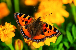 Small tortoiseshell butterfly (Aglais urticae) on French marigold (Tagetes patula) flowers. September, Dorset UK - Colin Varndell