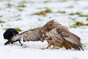 Carrion Crow (Corvus corone) tweaking the wing of a Buzzard (Buteo buteo) to try to get it to move off the food, Dransfeld, Hannover, Germany, January  -  Roger Powell
