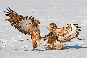 Two Buzzards (Buteo buteo)  fighting over food in snow, Dransfeld, Hannover, Germany, January - Roger Powell