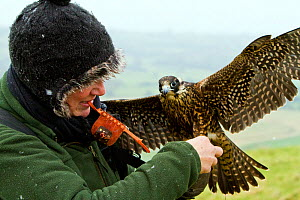 Peregrine falcon (Falco peregrinus) sub-adult male with trainer being prepared for flight,  Somerset UK, January 2013. Model released.  -  John Waters