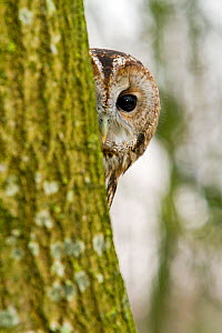 Tawny Owl (Strix aluco) adult female hiding behind tree trunk, trained bird, Somerset, UK, January - John Waters