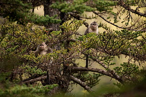 Young Yunnan snub-nosed monkeys (Rhinopithecus bieti) in tree, Mangkang, Tibet, China, May - XI ZHINONG
