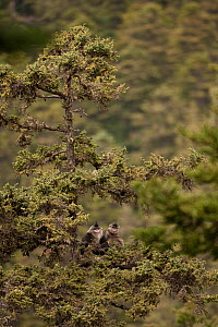 Yunnan snub-nosed monkeys (Rhinopithecus bieti) in tree, Mangkang, Tibet, China, May  -  XI ZHINONG