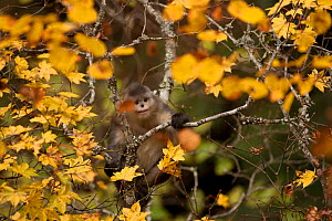 Yunnan snub-nosed monkey (Rhinopithecus bieti) in trees in autumn, Baima Snow Mountain, Yunnan, China, November  -  XI ZHINONG