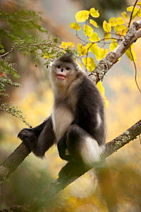 Yunnan snub-nosed monkey (Rhinopithecus bieti) sitting in tree, Baima Snow Mountain, Yunnan, China, November  -  XI ZHINONG