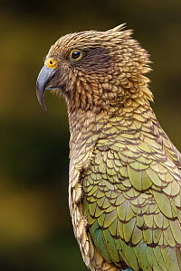 Kea (Nestor notabilis) portrait. The yellow at the top of the beak indicates that this is a jurvnile bird. Arthur's Pass National Park, South Island, New Zealand, December.  -  Andy  Trowbridge