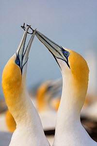 RF- Australasian Gannets (Morus serrator) in courtship display at nest site. Black Reef Gannet Colony, Cape Kidnappers, Hawke's Bay, North Island, New Zealand, October. (This image may be licensed eit...  -  Andy Trowbridge