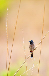 Red-vented bulbul (Pycnonotus cafer) Bandhavgarh National Park, India, March. - Andy  Trowbridge