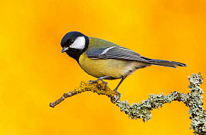 Great Tit (Parus major) perched on branch with yellow from autumn trees in the background. Southern Norway, October. - Andy  Trowbridge