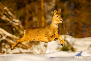 Roe deer (Capreolus capreolus) female leaping in snow, Southern Norway, March. - Andy  Trowbridge