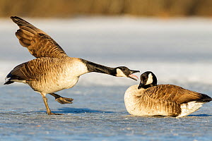 Canada geese (Branta canadensis) on frozen lake 'arguing', Southern Norway, March. - Andy Trowbridge