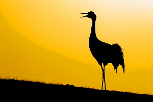 RF- Common / Eurasian crane (Grus grus) calling at sunset, silhouette. Lake Hornborga, Sweden, April. (This image may be licensed either as rights managed or royalty free.) - Andy Trowbridge