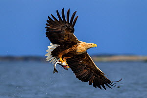 White-tailed sea eagle (Haliaeetus albicilla) in flight, with fish prey. Flatanger, Norway, May. - Andy  Trowbridge