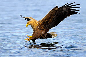 RF- White-tailed sea eagle (Haliaeetus albicilla) in flight, hunting for fish. Flatanger, Norway, May. (This image may be licensed either as rights managed or royalty free.)  -  Andy Trowbridge