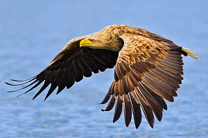 White-tailed sea eagle (Haliaeetus albicilla) in flight. Flatanger, Norway, May. - Andy  Trowbridge