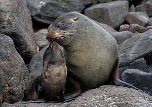 RF- New Zealand Fur Seal (Arctocephalus forsteri ) with pup, Sandfly Bay, Otago Peninsula, South Island, New Zealand, January. (This image may be licensed either as rights managed or royalty free.)  -  Andy Trowbridge