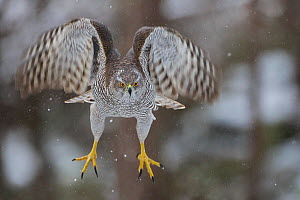 Female goshawk (Accipiter gentilis) in flight, just after taking off from perch. Southern Norway, January.  -  Andy  Trowbridge