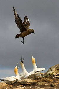 Great skua (Stercocarius skua) in flight over Gannet (Morus bassanus) colony, looking for small chicks, whilst Gannets call defensively, Shetland Isles, July. Bookplate from Danny Green's 'The Long Jo... - Danny Green