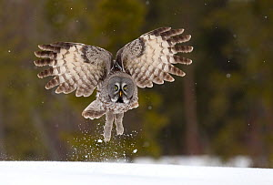 Great Grey owl (Strix nebulosa) taking off from the ground, Finland, April. Bookplate from Danny Green's 'The Long Journey North'  -  Danny Green