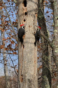 Two Pileated Woodpecker (Dryocopus pileatus) on tree trunk with holes, Acadia National Park, Maine, November  -  George Sanker