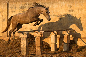 A two-year old Kathiawari horse filly free jumping,Porbandar, Gujarat, India. Sequence 2 out out of 8. - Kristel Richard