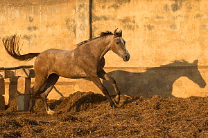 A two-year old Kathiawari horse filly cantering after free jumping, Porbandar, Gujarat, India. Sequence 7 out out of 8.  -  Kristel Richard