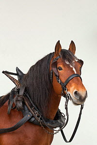 Franches Montagnes (Freiberger) Horse stallion 'Hombre' with traditional Grison harness, at the National Stud of Avenches, in the canton of Vaud, Switzerland.  -  Kristel Richard