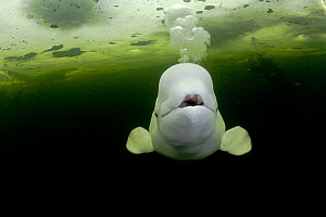 Beluga whale (Delphinapterus leucas) swimming under ice and exhaling air, with scuba diver in background, Arctic circle Dive Center, White Sea, Karelia, northern Russia, captive  -  Franco Banfi
