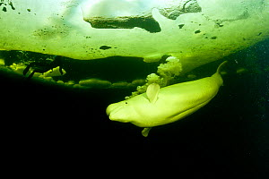 Beluga whale (Delphinapterus leucas) swimming under ice and exhaling air, Arctic circle Dive Center, White Sea, Karelia, northern Russia. Captive - Franco  Banfi