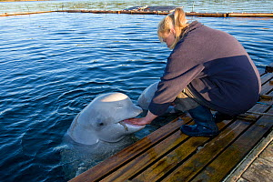 Beluga whales (Delphinapterus leucas) being hand fed by Maria the trainer, Arctic circle Dive Center, White Sea, Karelia, northern Russia, March 2010, captive  -  Franco Banfi