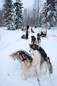 Siberian Husky dogs used for sled dogs inside Riisitunturi National Park, Lapland, Finland  -  Franco Banfi