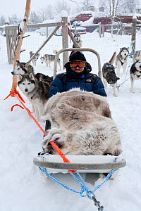Tourist wrapped up and ready to go with the sled dogs, Riisitunturi National Park, Lapland, Finland  -  Franco Banfi