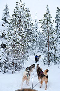 Siberian Husky dogs pulling sled through forest inside Riisitunturi National Park, Lapland, Finland  -  Franco Banfi