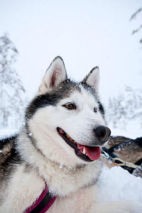 Siberian Husky dog, low angle portrait, used assled dogs inside Riisitunturi National Park, Lapland, Finland  -  Franco Banfi