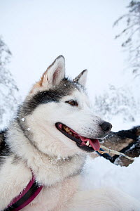 Siberian Husky dog, low angle portrait, used as sled dogs inside Riisitunturi National Park, Lapland, Finland  -  Franco Banfi