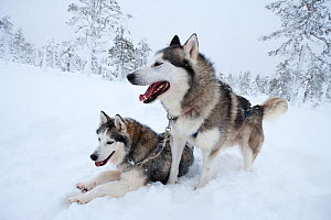 Siberian Husky dogs used as sled dogs inside Riisitunturi National Park, Lapland, Finland  -  Franco Banfi