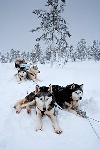 Siberian Husky dogs  resting, in harness to pull sledge inside Riisitunturi National Park, Lapland, Finland  -  Franco Banfi