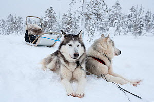 Siberian Husky dogs at rest, used as sled dogs inside Riisitunturi National Park, Lapland, Finland  -  Franco Banfi