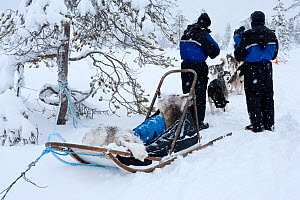 Sledge used for sled dogs excursions inside Riisitunturi National Park, Lapland, Finland  -  Franco Banfi