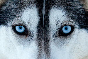 Portrait of Siberian Husky dog face used as sled dogs inside Riisitunturi National Park, Lapland, Finland  -  Franco Banfi