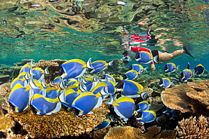 Shoal of Powder blue surgeonfish (Acanthurus leucosternon) swimming over reef, with snorkeller in background, Maldives, Indian Ocean - Franco Banfi
