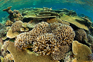 Reef covered with various (Acropora) hard corals including Table top coral (Acropora hyacinthus) as well as (Acropora robusta), Maldives, Indian Ocean  -  Franco Banfi