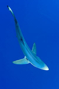 Great Blue shark (Prionace glauca) viewed from above, Pico Island, Azores, Portugal, Atlantic Ocean  -  Franco Banfi