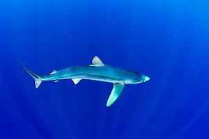 Great Blue shark (Prionace glauca) profile portrait viewed from slightly above, Pico Island, Azores, Portugal, Atlantic Ocean - Franco Banfi