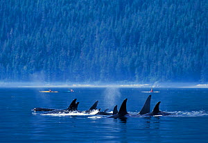 Killer whales (Orcinus orca) off the coast of British Columbia, North Pacific Ocean - Denis-Huot