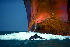 Bottlenose dolphin (Tursiops truncatus) playing in the waves of an oil tanker, Port Aransas, Texas, USA  -  Denis-Huot