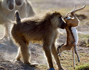 Yellow baboon (Papio hamadryas cynocephalus) male catching a young Thomson's gazelle (Eudorcas thomsoni) Amboseli National Park, Kenya - Denis-Huot